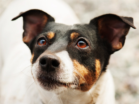 Jack Russell Terrier dog looking ahead. Closeup.
