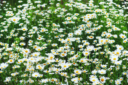 oxeye: Green flowering meadow with white daisies. Closeup.