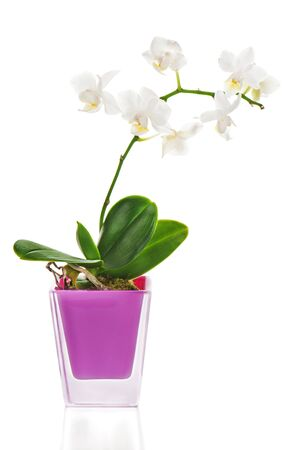 miniature white orchid arrangement centerpiece in vase isolated on white background Stock Photo