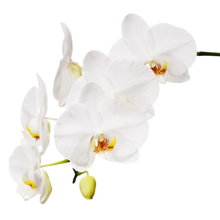 White orchid isolated on white background. Closeup. Stock Photo