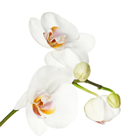 phal: White orchid isolated on white background. Closeup. Stock Photo