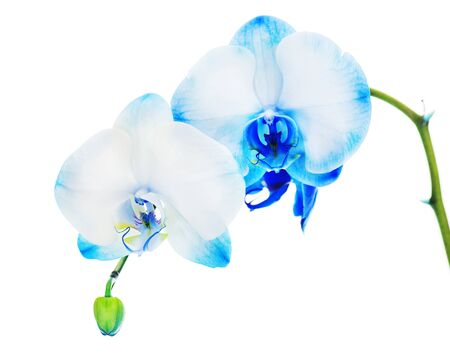 Real blue orchid arrangement centerpiece isolated on white background Stock Photo