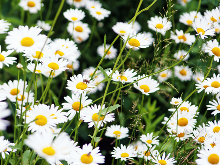 Green flowering meadow with white daisies. Closeup.