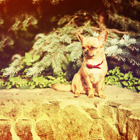 Red chihuahua dog siting on granite pedestal with retro filter effect. Stock Photo