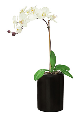 phal: Orchid in black flowerpot isolated on white background. Closeup.
