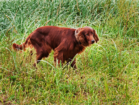 Hunting irish setter standing in the grass. Autumn hunting.