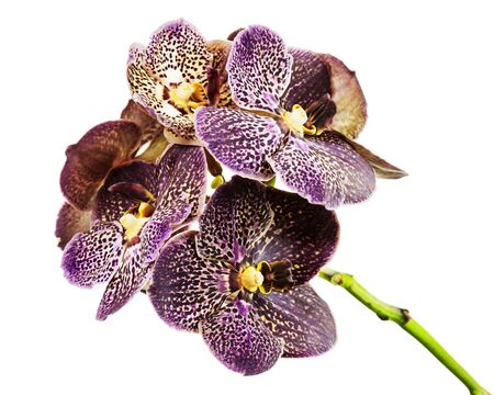 Dark tiger orchid isolated on white background. Closeup. Banco de Imagens