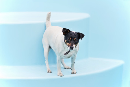 Jack Russell Terrier dog on the beach in swimmingpool. Closeup. Stock Photo