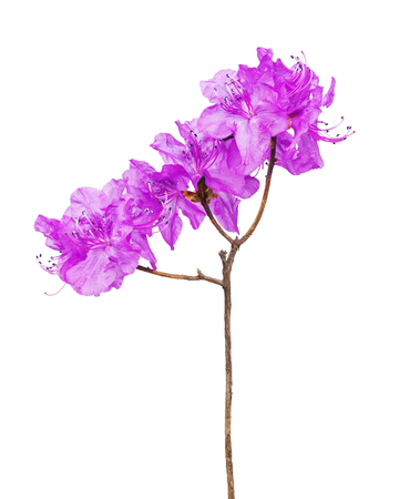 palustre: Purple rhododendron flowers ,Labrador tea, on branch isolated on white background.