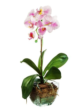 Orchid in glass flowerpot isolated on white background. Closeup. Stock Photo