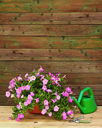 Pink petunia flowers in flowerpot with garden accessories on wooden background.