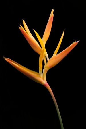 Ginger Lily Flower Isolated on a Black Background Stock Photo