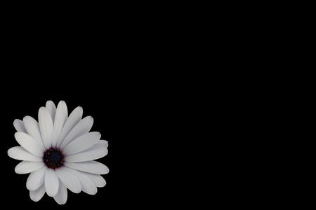 White Daisy with purple and orange centre isolated on the left of Black Background