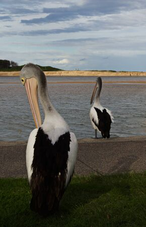 At the Entrance on the new south wales Central Coast 2 Pelicans stand watch looking for food at the ocean inlet Banco de Imagens - 147063254