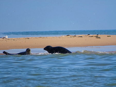 Seals At The Beach Newburgh, Scottland, June 2018