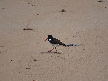 oystercatcher At Aberdeen Beach
