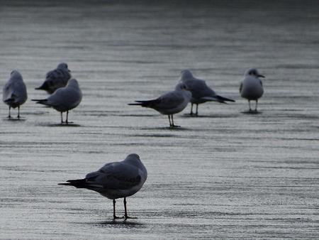gulls in winter city park balances on frozen pond