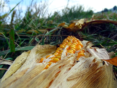 dry corn on the edge of the field at Geismar, Edersee, Kellerwald Stock Photo