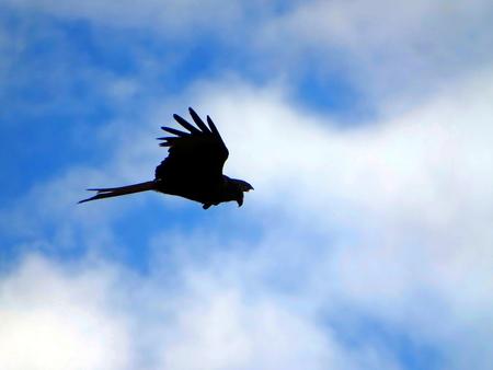 Red kite prey in majestic flight at Geismar, Hesse