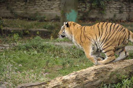 Tiger preparing to jump off log