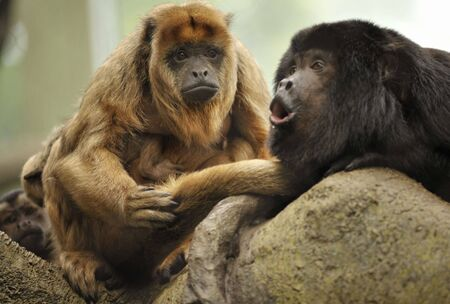 male howler monkey howling as female looks on while sitting in tree