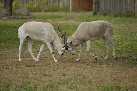 Two male impalas fighting with their horns Stock Photo