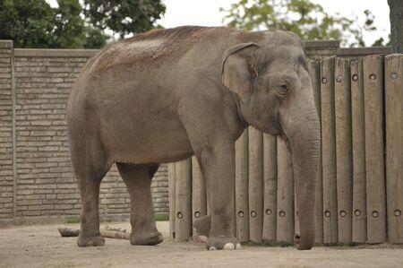 Beautiful female elephant walking