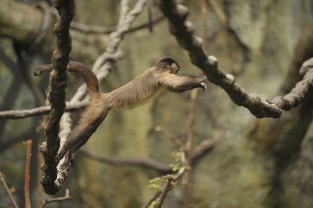 monkey swinging from vine to vine Stock Photo