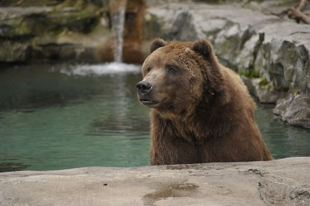 grizzly bear cooling off in a pool of water