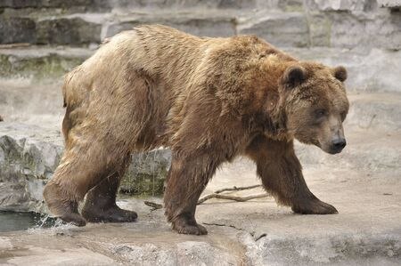 grizzly bear coming out of pool dripping water Stock Photo