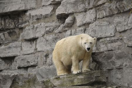 Polar bear standing on a rock ledge