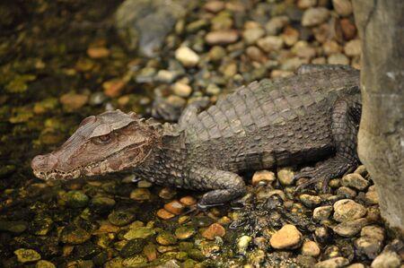 closeup of  alligator in the river