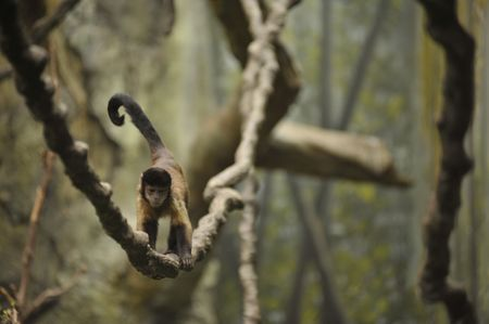 monkey walking along a vine in the rain forest Stock Photo