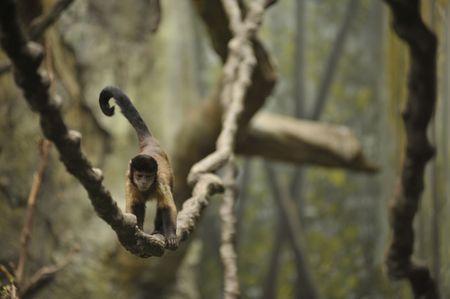 monkey walking along a vine in the rain forest Stock Photo