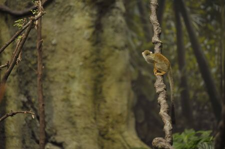 little monkey sitting on a vine in the rain forest Stock Photo