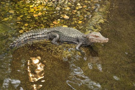 alligator along the shore of a river