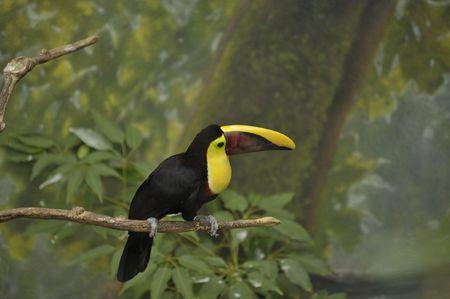 Toucan bird on limb in rainforest Stock Photo