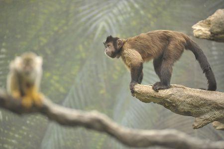 little monkeys on limbs in the rain forest