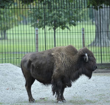 Closeup of standing Bison Stock Photo