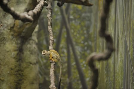 squirrel monkey sitting on a vine in the rain forest Stock Photo