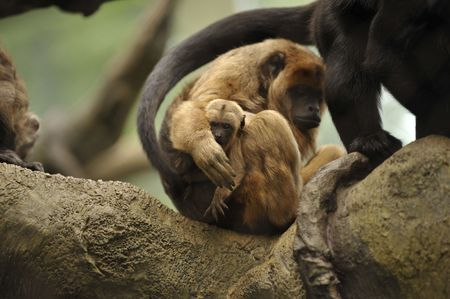 mother monkey protecting her baby in a tree