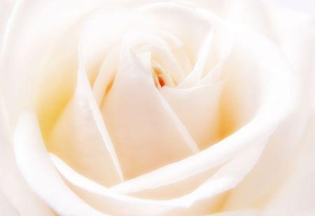 Closeup of beautiful white rose bloom