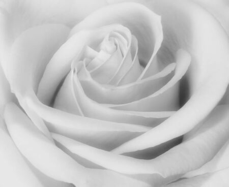 Closeup black and white of rose bud blooming Stock Photo