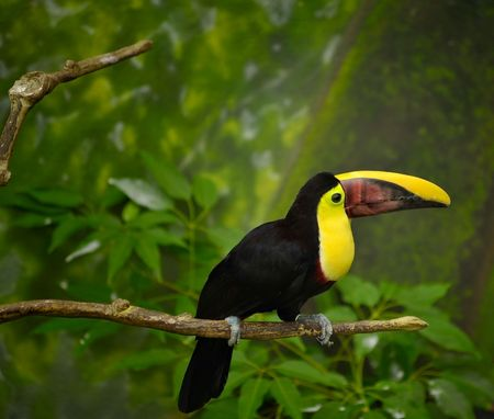 Toucan bird sitting on a limb in the rain forest Stock Photo