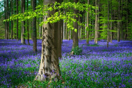 Magical Belgian Hallerbos turns into a sea of wild bluebells every spring. The fresh green leaves of the beech trees provide a colorful contrast. Stock Photo