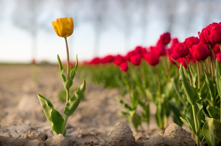 A single tulip separated from a larger group, metaphorically a leader or the opposite, an outsider.