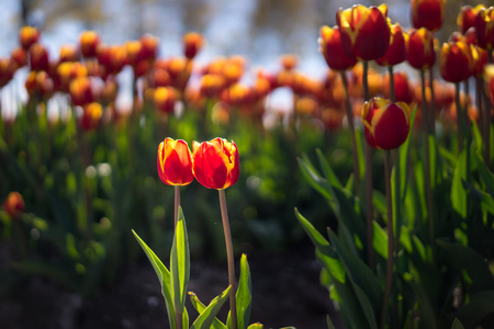 A cute pair of red and yellow tulips in front of a larger group. Stock Photo