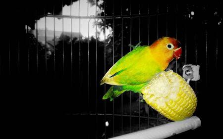love bird: Single Love Bird