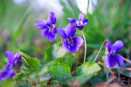 Wild forest violet in the spring forest. Blooming close-up. Nature background. Standard-Bild
