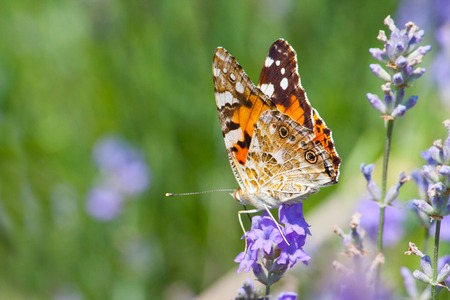 Australian painted lady butterfly sitting on wild lavender flowers. Stock Photo